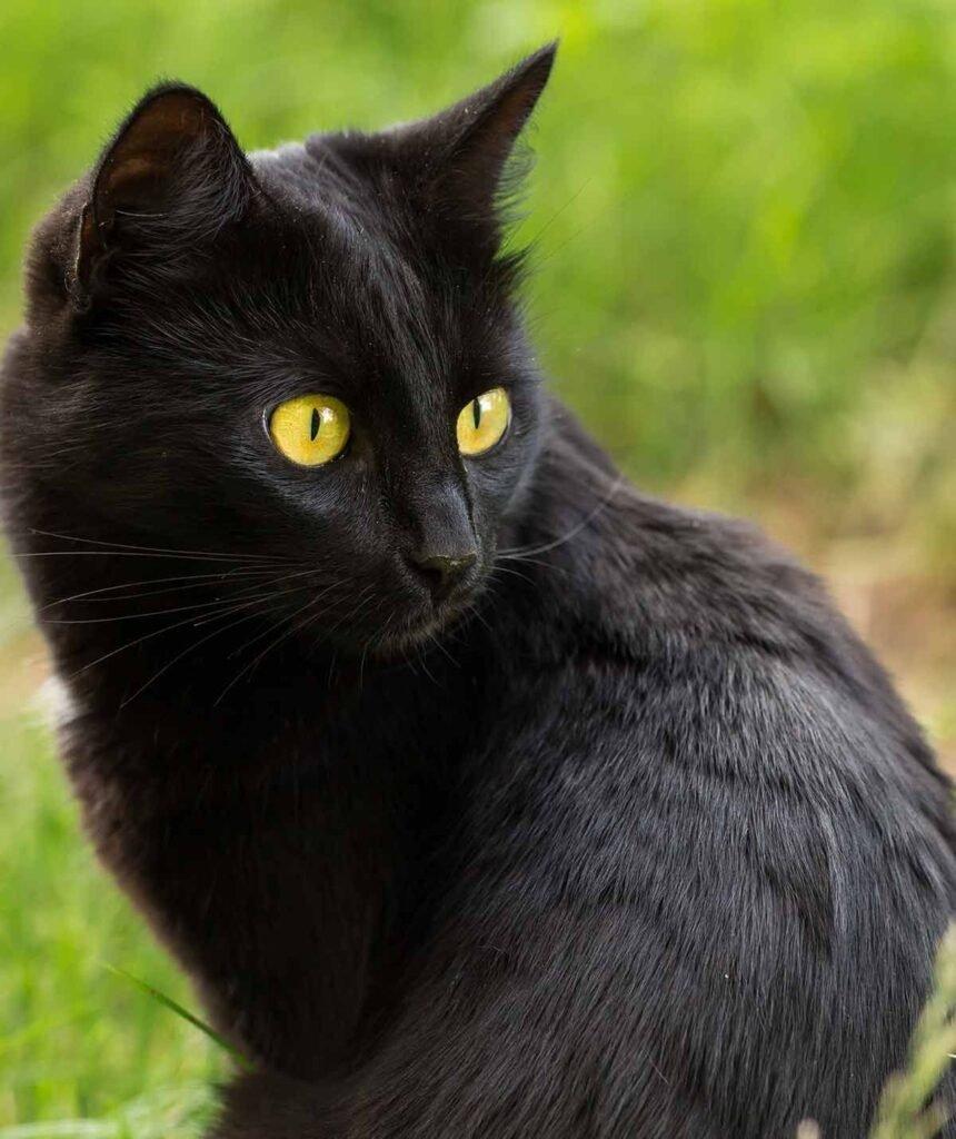 ojos gato bombay